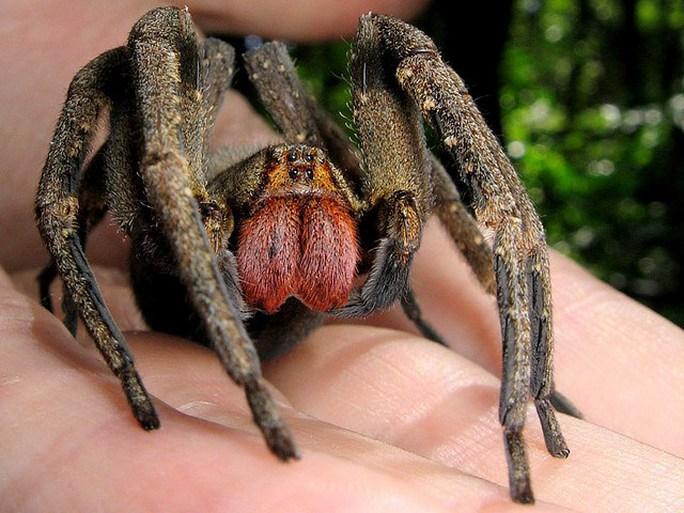 Những loài nhện khổng lồ nhất hành tinh - 2
