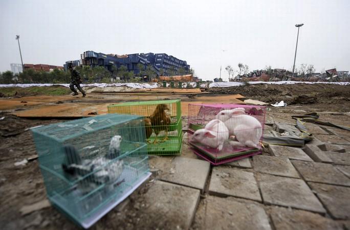 Chính phủ Trung Quốc mang gà, thỏ và bồ câu tới gần hiện trường vụ nổ Thiên Tân. Ảnh: Reuters