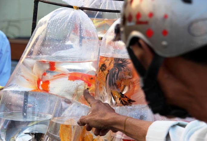 Nhiều người chọn mua cá chép Nhật (cá koi) loại nhỏ để phóng sinh với quan niệm may mắn, tích đức.
