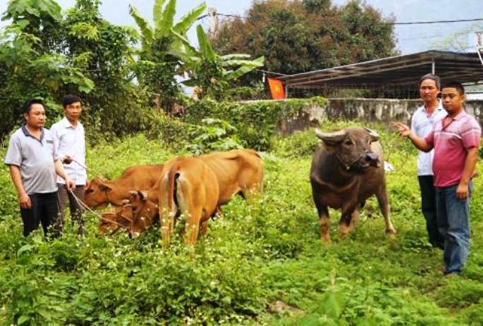 Số trâu, bò được lực lượng công an thu giữ trả lại cho người mất