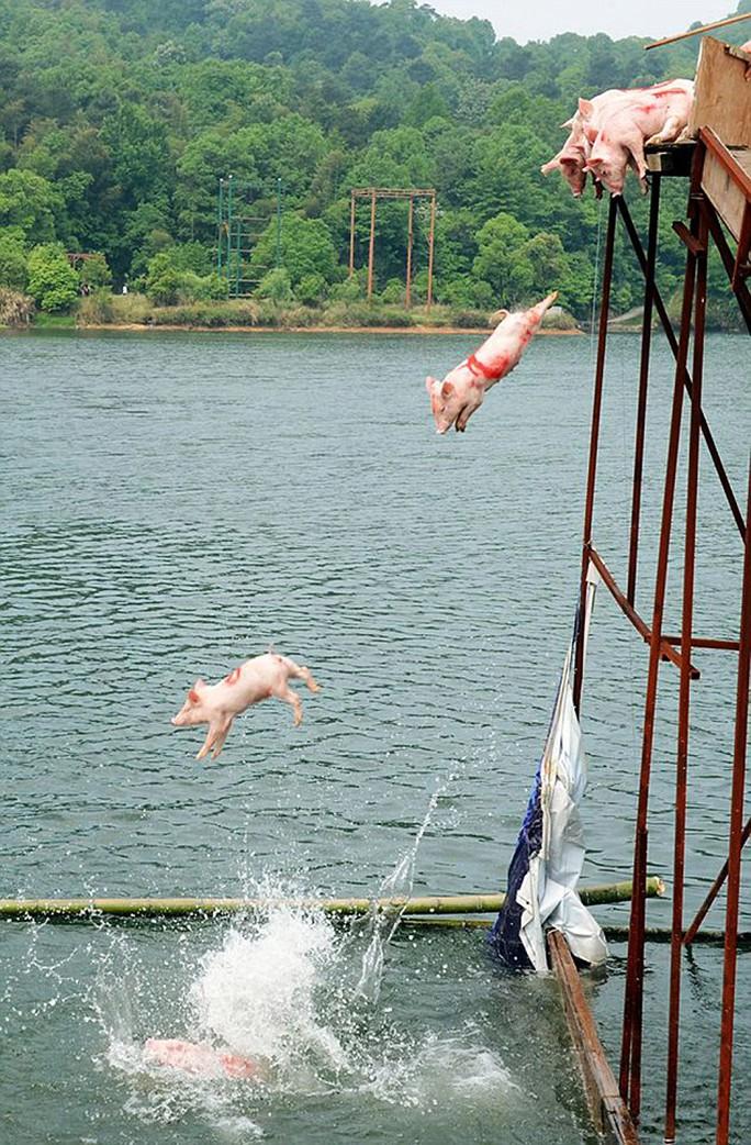 Những chú heo bị đẩy xuống hồ. Ảnh: Daily Mail