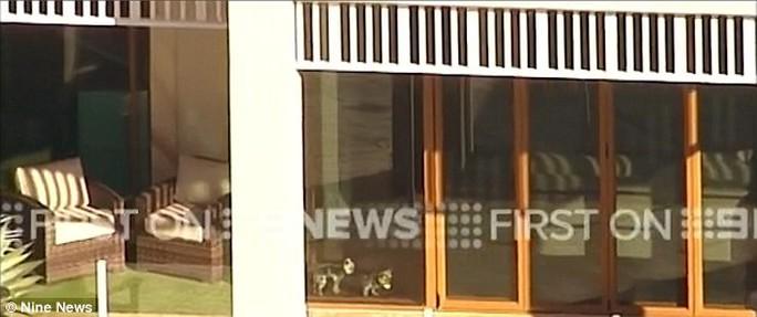 Cặp chó cưng bị phát hiện nhập cảnh lậu vào Úc