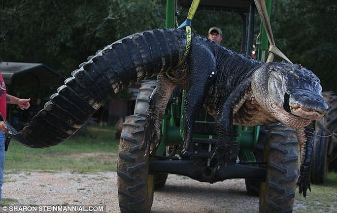 Con cá sấu khi bị bắt