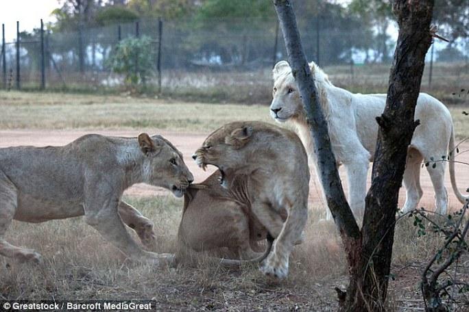 Thiệt mạng vì sư tử tấn công