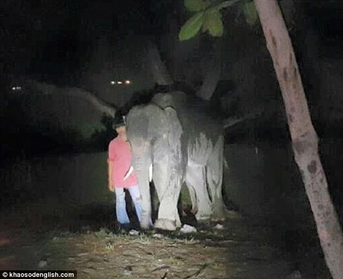 Chú voi được dắt ra xa sau khi làm chết người. Ảnh: Khaosodenglish.com