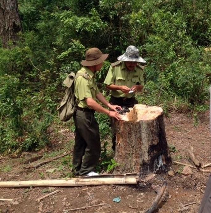 Vụ phá rừng thông Ninh Thuận: Đình chỉ trưởng phòng và trưởng trạm bảo vệ rừng