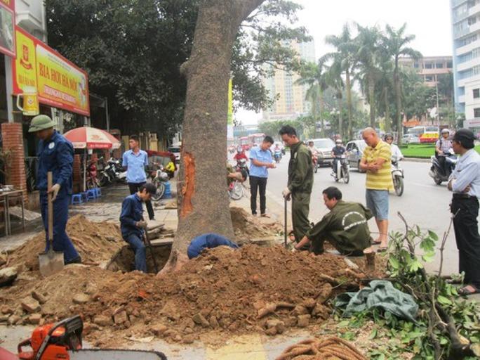 Gốc cây xà cừ to được trồng lâu năm đang được công nhân chặt hạ