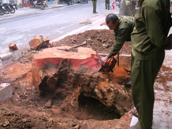 Chặt cây khô mục trên đường Lý Nam Đế