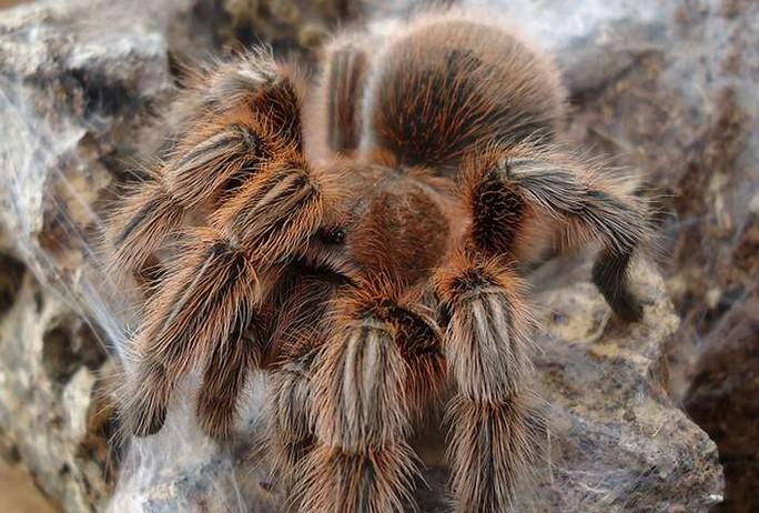 Những loài nhện khổng lồ nhất hành tinh - 4