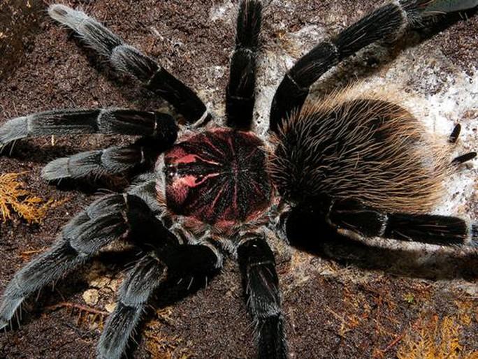 Những loài nhện khổng lồ nhất hành tinh - 5