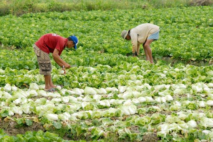 Người dân ĐBSCL nhiều năm trồng ồ ạt rau củ quả, sau đó bán không hết, phải nhổ bỏ. Nguyên nhân có phần do không được quy hoạch, hướng dẫn kỹ thuật bài bản Ảnh: NGỌC TRINH