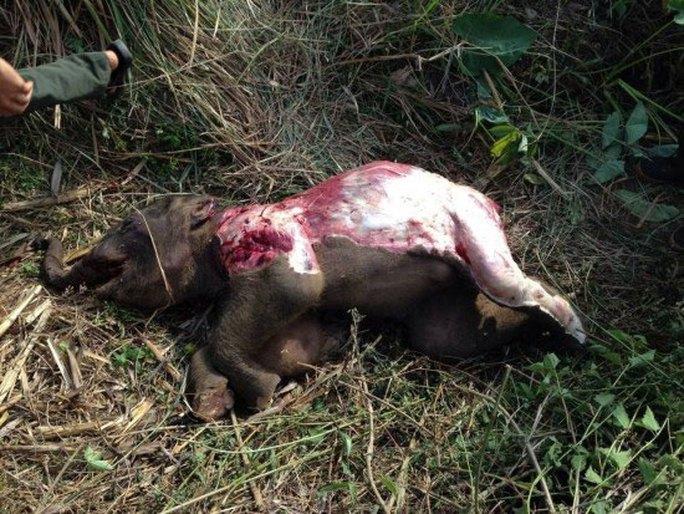 Con voi rừng chết trong tình trạng bị lột da, mất đế chân. (Ảnh do Trung tâm Bảo tồn voi Đắk Lắk cung cấp)