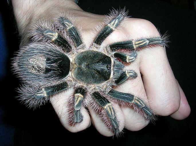 Những loài nhện khổng lồ nhất hành tinh - 6
