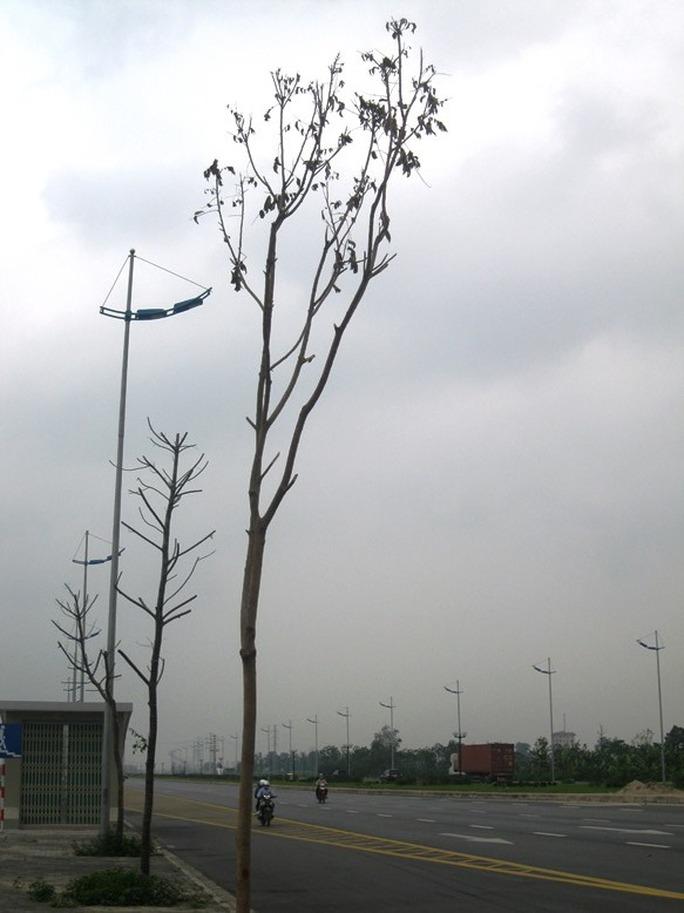 Những cây mới trồng thay thế cũng đang héo khô lá