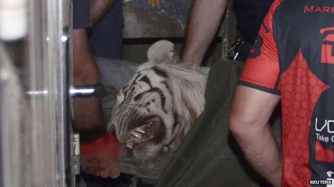 Con hổ bị cảnh sát bắn chết. Ảnh: Reuters