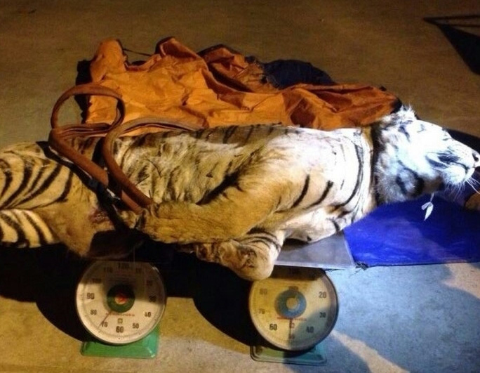 Cá thể hổ nặng 120kg lực lượng CA Nghệ An bắt giữ ngày 22-12-2014.
