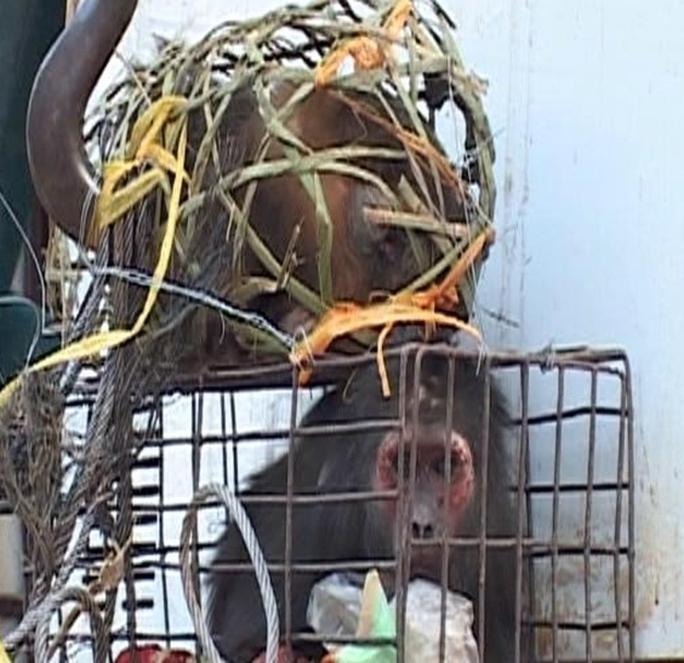 Hai cá thể khỉ còn sống lực lượng công an thu giữ tại nhà ông Ngũ. Ảnh: Phê Nguyễn