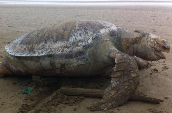 Cá thể đồi mồi khủng chết dạt vào bờ. Ảnh: Phê Nguyễn