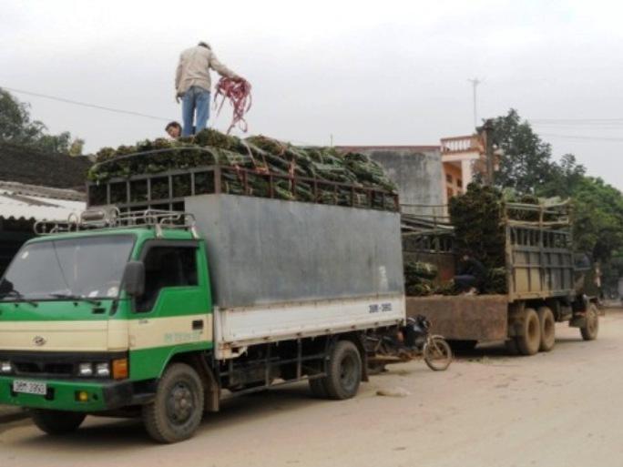 Lá dong rừng được đưa lên ô tô vận chuyển ra các thành phố lớn tiêu thụ