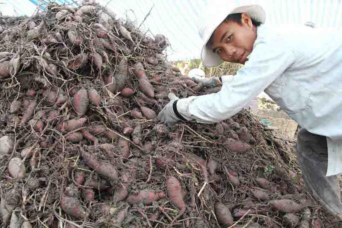 Giá khoai lang tím Nhật dao động thất thường do phụ thuộc thị trường Trung Quốc