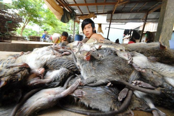 Anh Lê Văn Thiên, chủ cơ sở thu mua chuột đồng ở xã Bình Long, huyện Châu Phú (An Giang), cho biết mùa này, thương lái thu gom mua chuột đồng ở khắp nơi đều chở về đây bán, bình quân mỗi ngày anh mua gần 1 tấn chuột đồng. Sau khi chặt đầu, đuôi và lột da còn khoảng 750-800 kg để xuất bán.