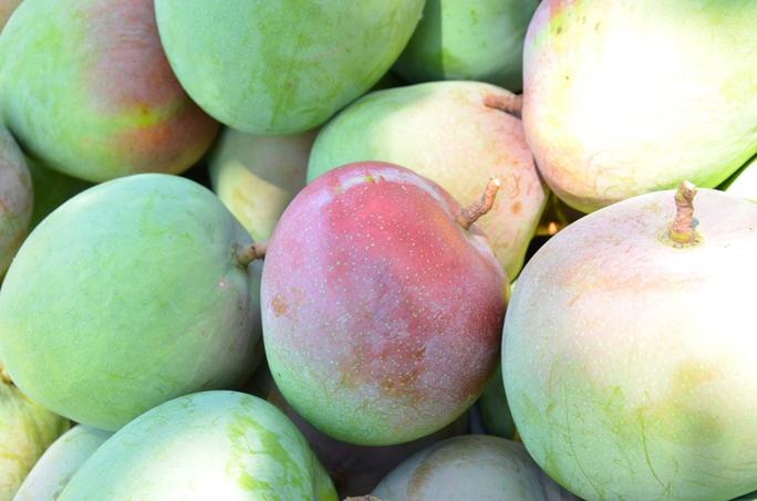 Xoài Úc trái tròn, màu sắc lạ mắt, thường được bán ra thị trường phía Bắc và xuất khẩu sang Trung Quốc