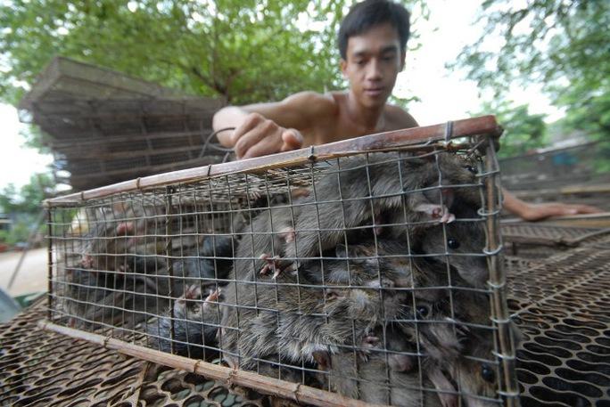 Theo những tay săn chuột chuyên nghiệp, thường săn chuột kiểu này đa phần bắt chuột sống, bẻ răng không cho chúng cắn với nhau. Khi mang bán cho thương lái giá sẽ cao.