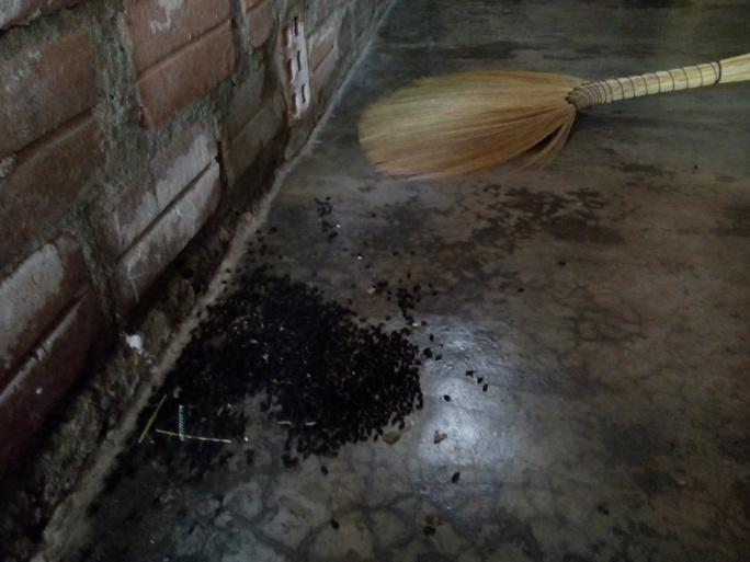 Do chưa có thuốc đặc trị nên người dân chỉ còn cách thu gom rồi đốt để hạn chế bọ đen cánh cứng