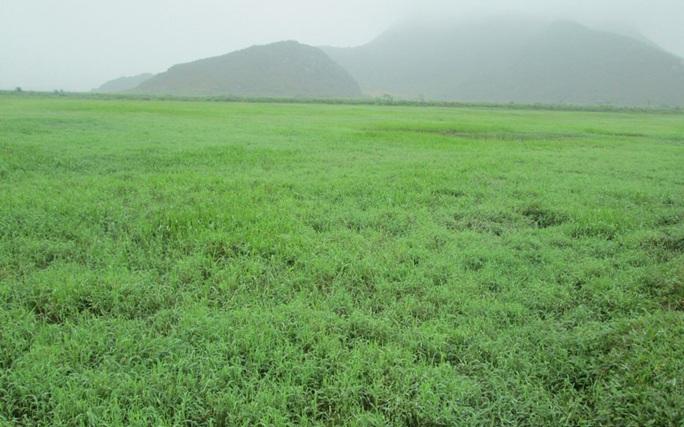Cánh đồng bỏ hoang cho cỏ mọc ở xã Thiệu Giao, huyện Thiệu Hóa, tỉnh Thanh Hóa Ảnh: TUẤN MINH