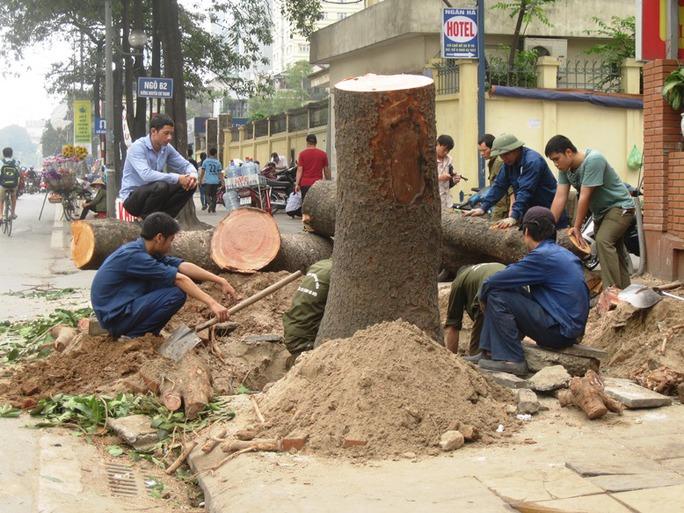 Thanh tra Chính phủ đề nghị Hà Nội làm rõ đề án chặt hạ 6.700 cây xanh.  Ảnh: Một cây xanh lớn còn rất tươi tốt bị chặt trên đường Nguyễn Chí Thanh ngày 19-3 - Ảnh: Nguyễn Hưởng