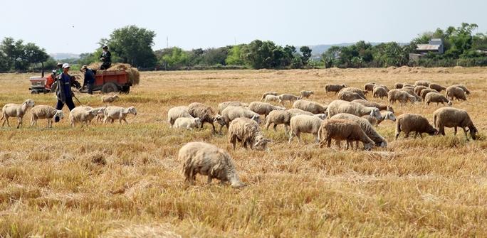 Hàng ngàn gia súc bị suy kiệt vì thiếu thức ăn, nước uống