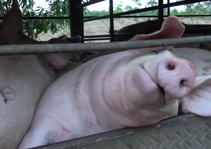 Những con heo bị bơm căng mọng nước vừa bị cơ quan chức năng phát hiện tại một cơ sở giết mổ ở tỉnh Đồng Nai  Ảnh:  XUÂN HOÀNG