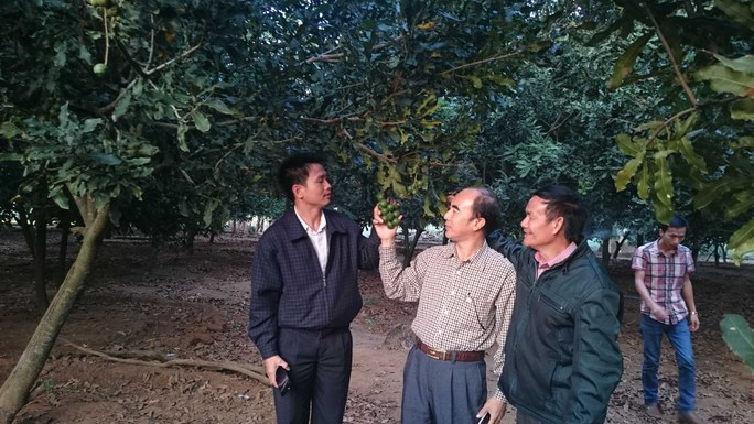 Vườn cây mắc ca 9 năm tuổi của gia đình ông Nguyễn Đức Ba ở Lâm Đồng