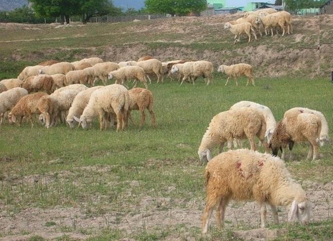 """Những vạt cỏ non xanh mướt, mọc lên sau mưa là """"bữa tiệc thịnh soạn"""" cho dê cừu, sau nhiều tháng vất vưởng vì thiếu ăn."""