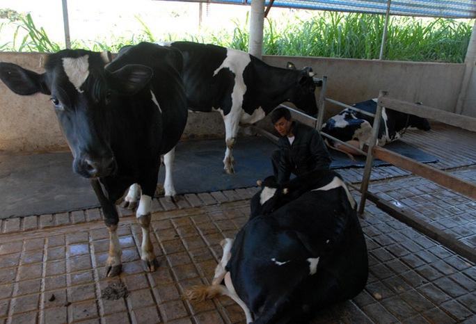 Người chăn nuôi bò sữa tại Lâm Đồng đang gặp khó đầu ra.