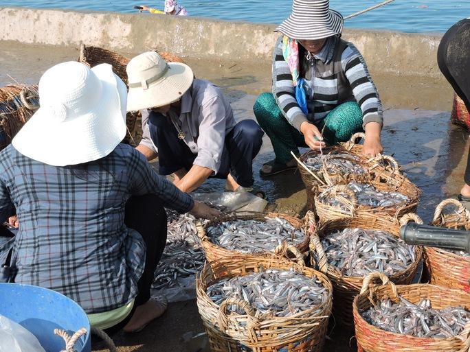 Lý Sơn: Trúng đậm cá cơm đầu mùa