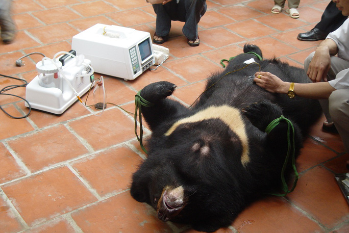 Gấu bị nuôi nhốt và hút mật ở Hải Phòng. (Ảnh do ENV cung cấp)