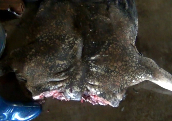 Heo nái nuôi sau khi khò da để giả thịt heo rừng được phát hiện