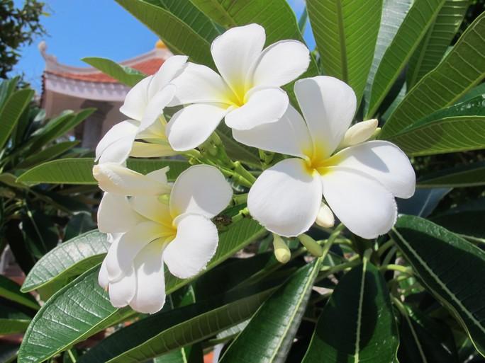 Vẻ đẹp ngọt ngào của hoa đại trắng xoá đi những nỗi vất vả của lĩnh đảo Trường  Sa