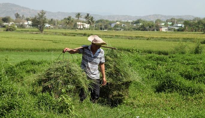 Nhiều nông dân tranh thủ cắt cỏ non mọc xanh mướt sau mưa ven các chân ruộng, làm thức ăn cho gia súc