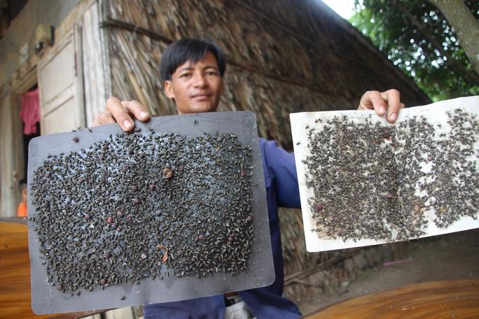 Mỗi ngày anh Thái bẫy hơn 10 miếng keo dính, nhưng ruồi vẫn không giảm hẳn.