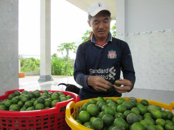Ông Nguyễn Chánh Trung (xã An Hiệp, huyện Châu Thành, Đồng Tháp) đang phân loại chanh - Ảnh: Thành Nhơn