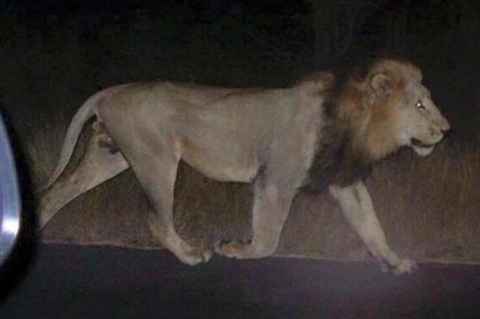 Sư tử sổng chuồng sau trận lũ. Ảnh: Mirror
