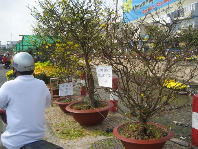 Những cây mai này được cho thuê từ 300.000 đồng đến 500.000 đồng trong 7 ngày Tết