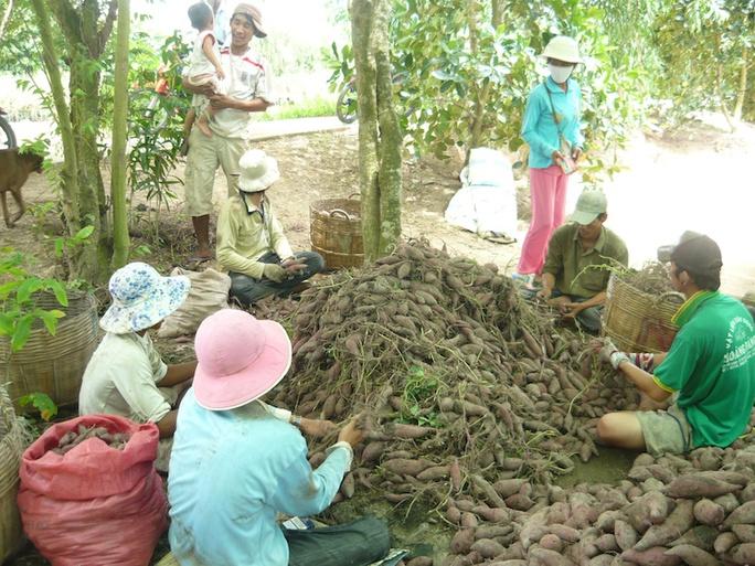 Bị sâu bệnh tấn công, khoai mất mùa, bán giá thấp nên nhiều nông dân trồng khoai lang thua lỗ.