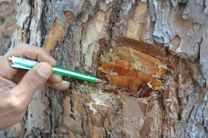 Những lỗ khoan trên thân cây thông bị bơm thuốc độc