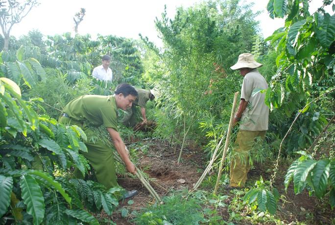 Công an tỉnh Đắk Nông phá bỏ, tiêu hủy cây cần sa trồng  xen trong rẫy cà phê  Ảnh:  Đình Nguyên