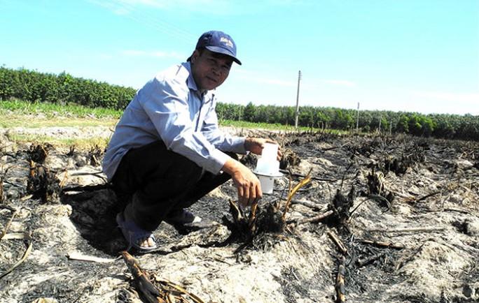 Do thua lỗ, nhiều nông dân Tây Ninh phá bỏ ruộng mía để chuyển sang trồng mì - Ảnh: N.Hậu