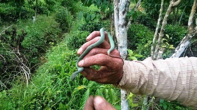 Người dân Lâm Đồng bắt được rắn lục đuôi đỏ khi đang bón phân cà phê.