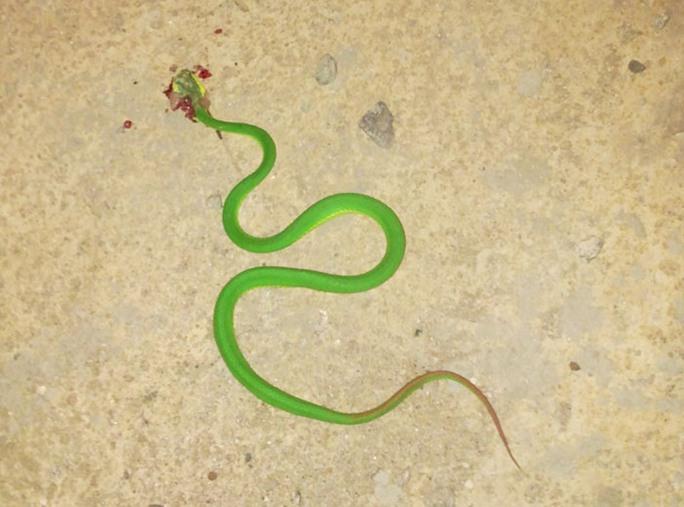 Một con rắn lục đuôi đỏ bị người dân đập chết